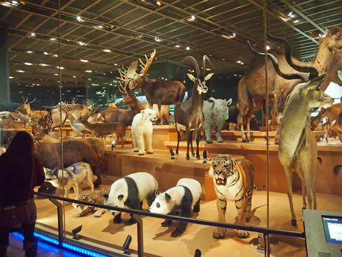 科博2015大型動物剥製展示-2