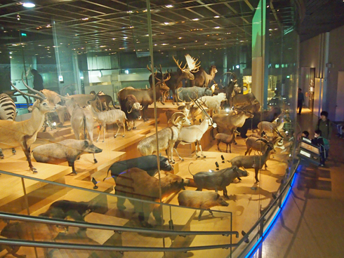 科博2015大型動物剥製展示-3