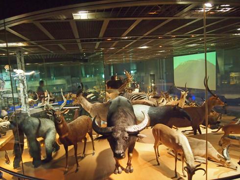 科博2015大型動物剥製展示-4