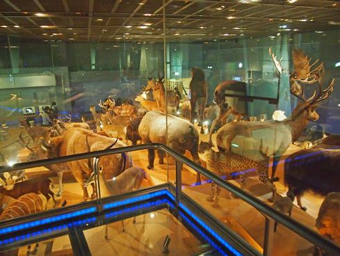科博2015大型動物剥製展示-7
