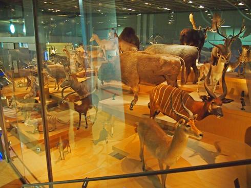 科博2015大型動物剥製展示-8