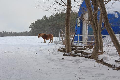 冬の寒立馬2016-5