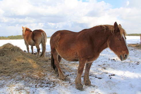 冬の寒立馬2016-9