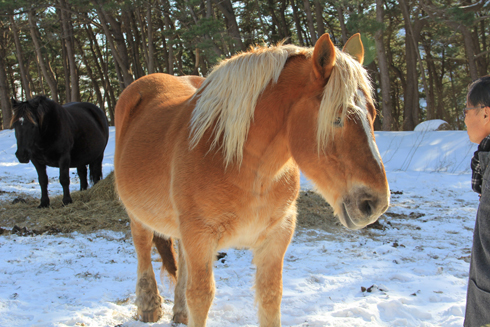 冬の寒立馬2016-15