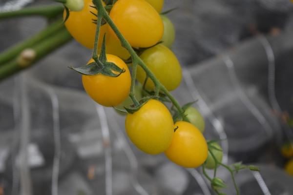 160307-産直のミニトマト03