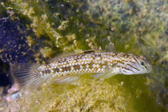 Redigobius leveri, Namosi Road stream, Vitilevu, Fiji IMG_7495