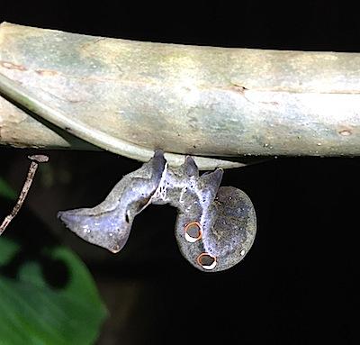 キマエコノハの幼虫