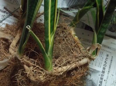 観葉植物の6つの根を分けようと鉢から出すと4つの根の株がつながってた写真