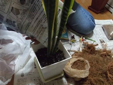 観葉植物の残りの2つの根っこを1つづ鉢植えする写真