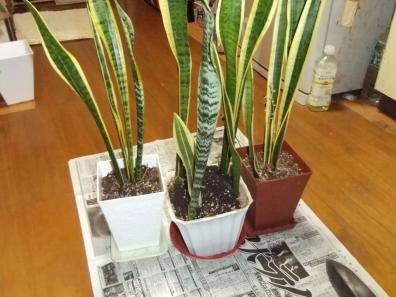 観葉植物を3つの鉢へ株分けした写真
