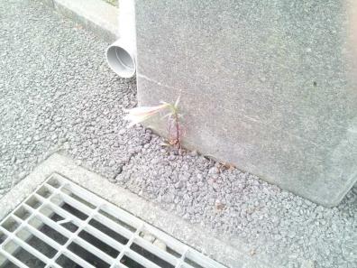 脳外科病院駐車場のアスファルト通路とコンクリート柱に咲いてた生命力が強く綺麗な花のゆりかな?