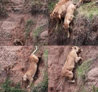 おもしろ写真で獅子の子落としが獅子の子が落ちたら獅子は獅子の子を助ける