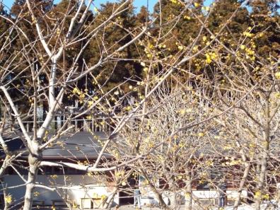 秩父宮記念公園に咲いていたロウバイと言う木に咲く花たち