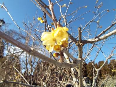 ロウバイと言う花だけをズームアップして写真撮影した