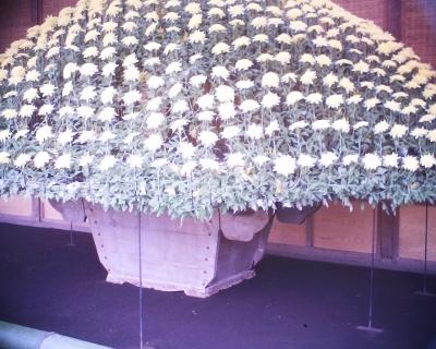 大作り花壇・新宿御苑菊花壇展:R2
