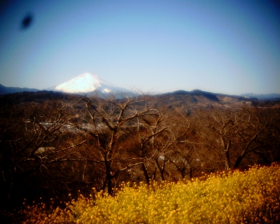 菜の花と富士山:吾妻山公園:Entry