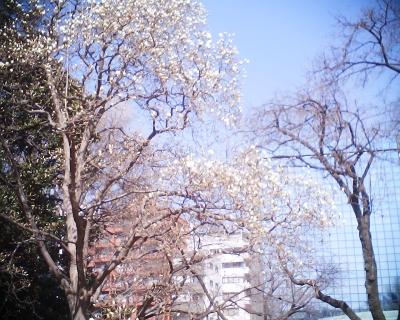 咲き始めたハクモクレン・新宿御苑:R2