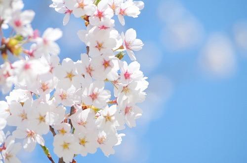 桜 春 青空