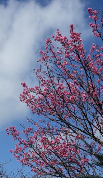 DSC03042 - 桜