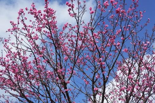 DSC03741 - 桜