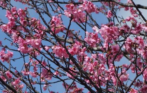 DSC03047 - 桜