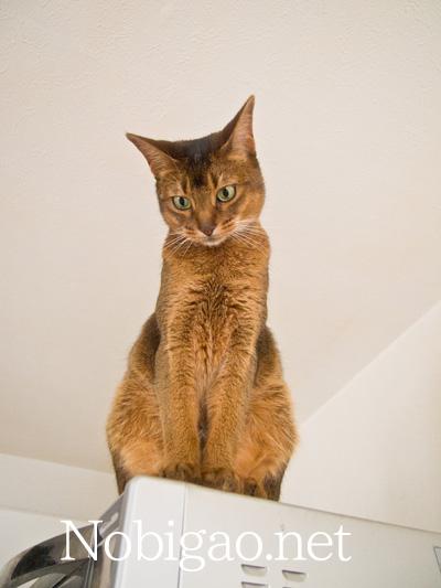 obigao アビシニアン 猫