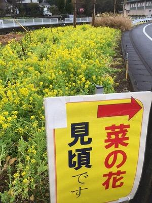菜の花富士 (2)