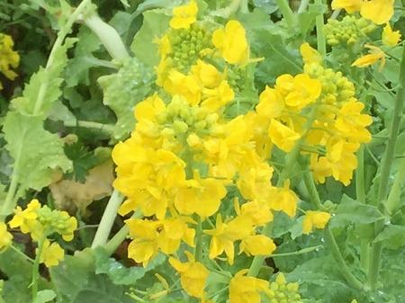 菜の花富士 (4)