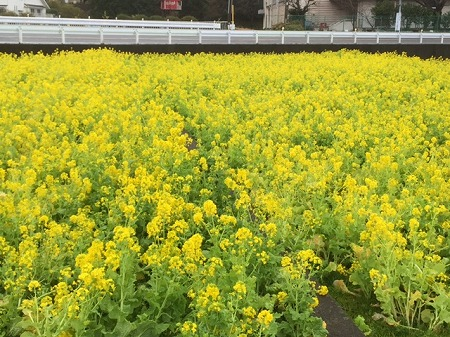 菜の花富士 (5)
