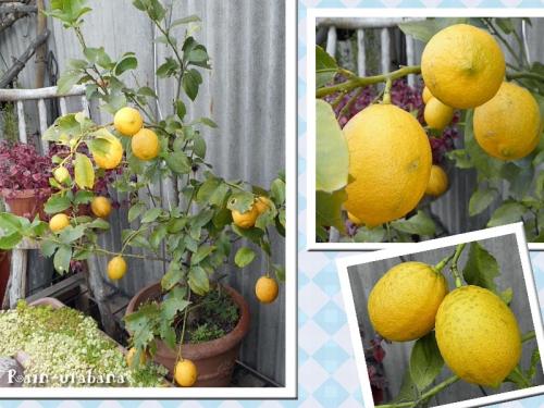 レモンが黄色くなった♪
