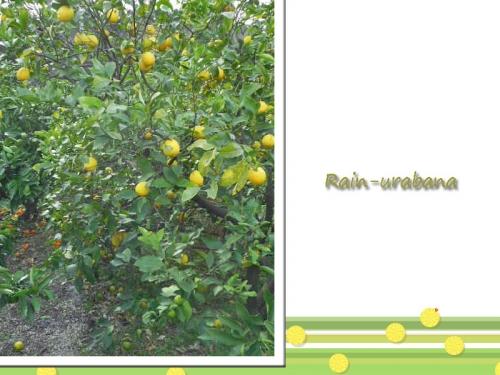 大家さんとこのレモンの木 (^ ^)