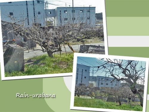 柿の木の剪定するべさ!