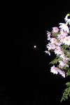 朝方の皇帝ダリアと月
