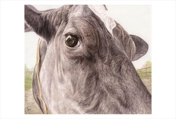 ポストカード 年寄り牛の瞳_R