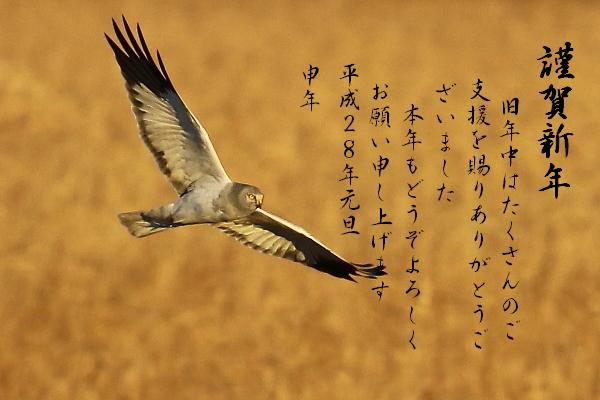 ハイイロチュウヒ♂(201511154006)③