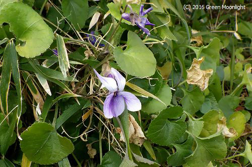 咲き続けるニオイスミレ