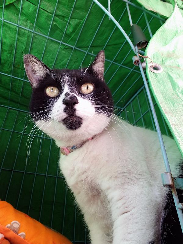 ハウスの中から見てる猫2