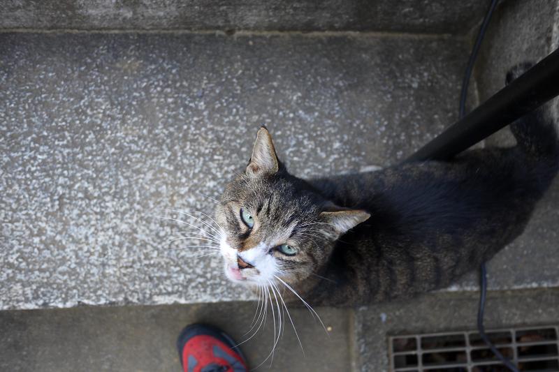 石階段で見上げるのキジ白猫