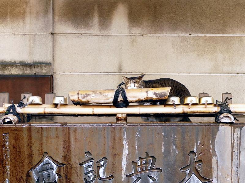 手水舎で水を飲んでるキジ白猫2