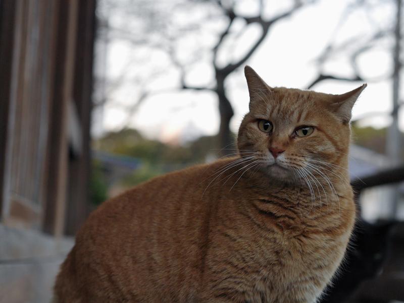 お寺の濡れ縁の茶トラ猫