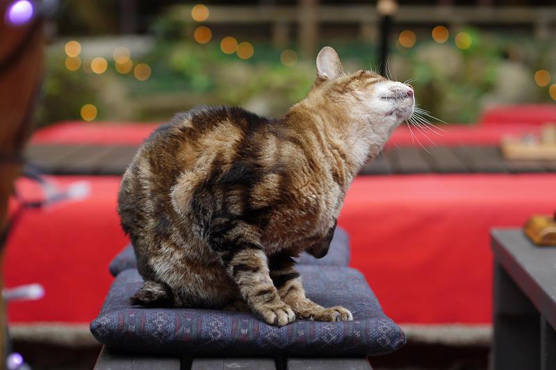 茶店の庭のキジ白猫