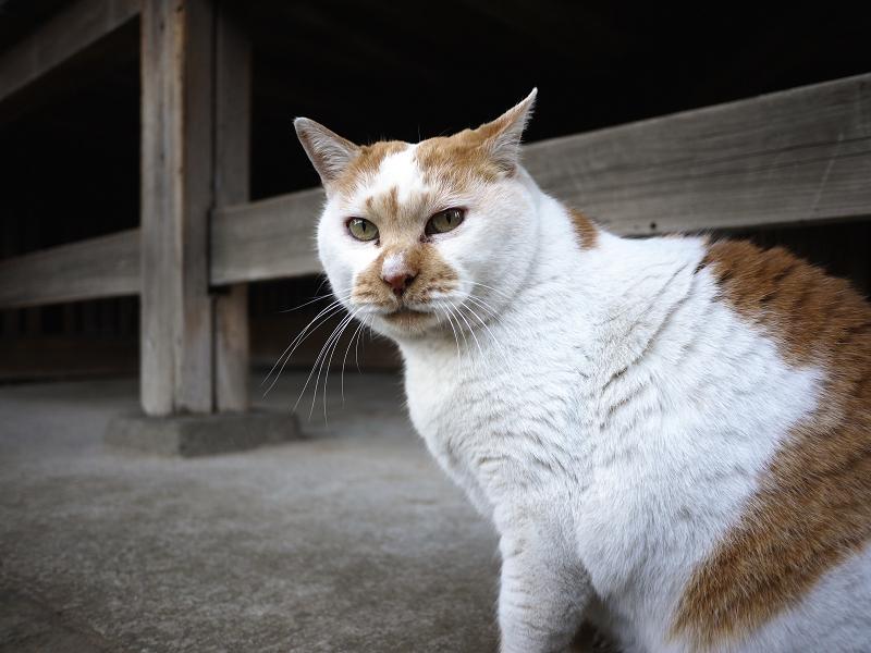 古寺の前の白茶猫1
