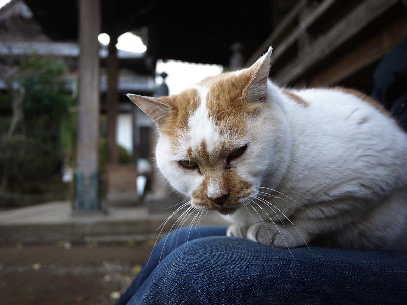 古寺の前の白茶猫2
