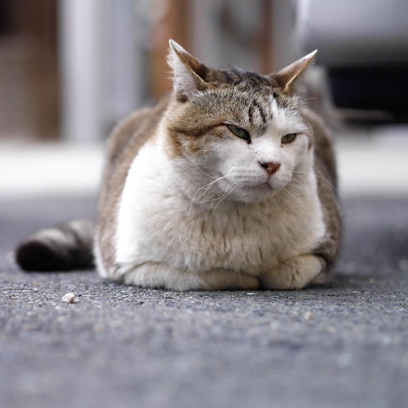 むっつりで香箱の猫1