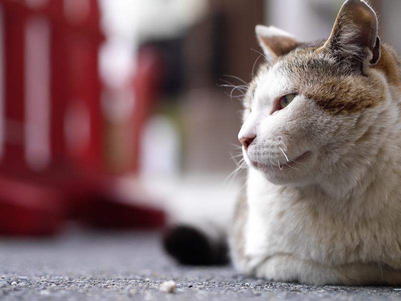 むっつりで香箱の猫2