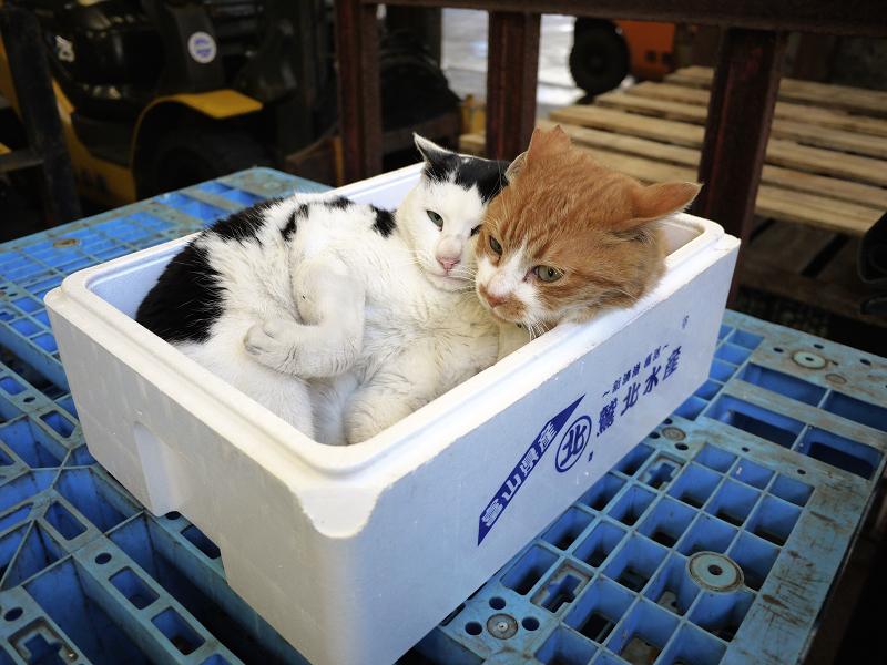 発泡スチロール箱の猫たち1