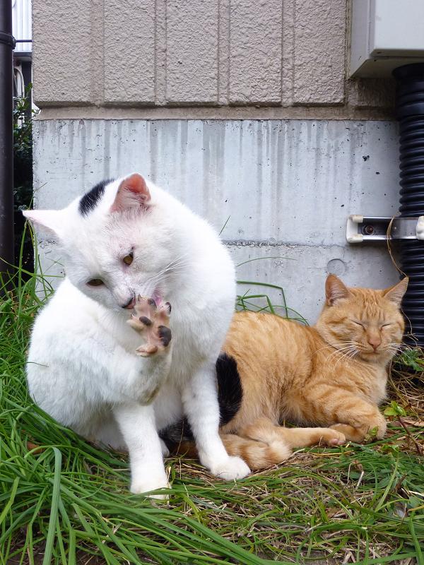 足の指を開いてる白黒猫2