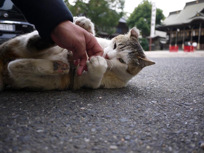 境内で大暴れする白キジ猫1