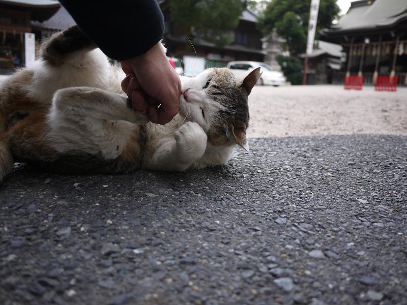 境内で大暴れする白キジ猫3