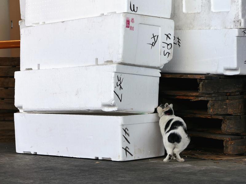 発泡スチロール箱を嗅ぐ白キジ猫